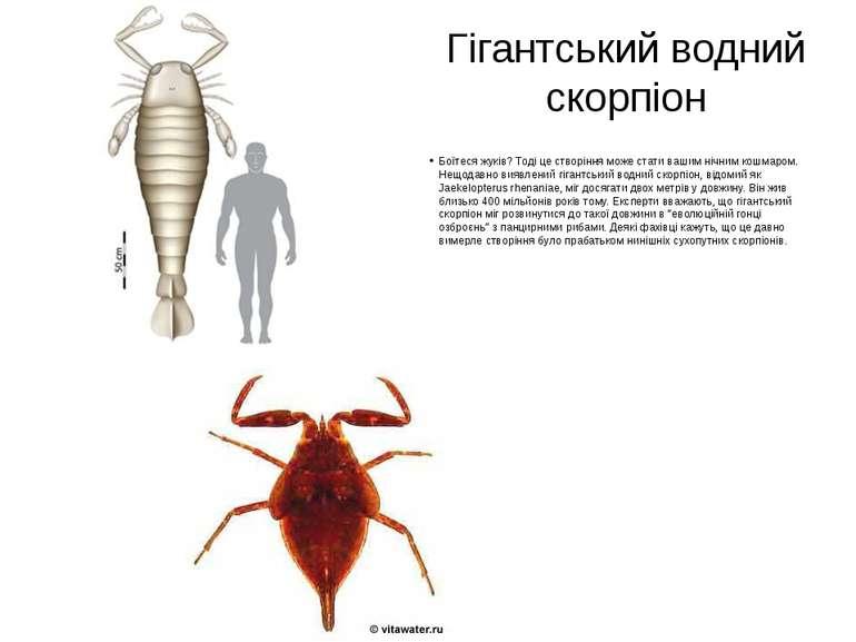 Гігантський водний скорпіон Боїтеся жуків? Тоді це створіння може стати вашим...