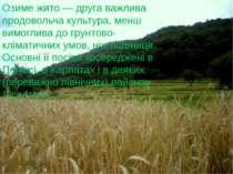 Озиме жито — друга важлива продовольча культура, менш вимоглива до грунтово-к...