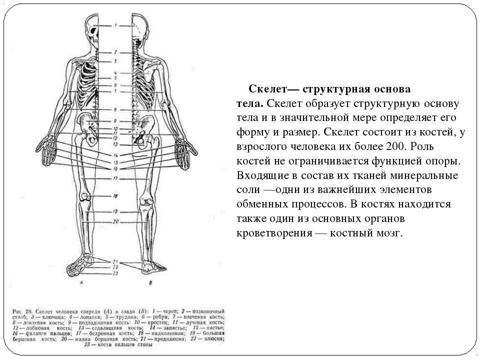 Скелет— структурная основа тела.Скелет образует структурную основу тела ...