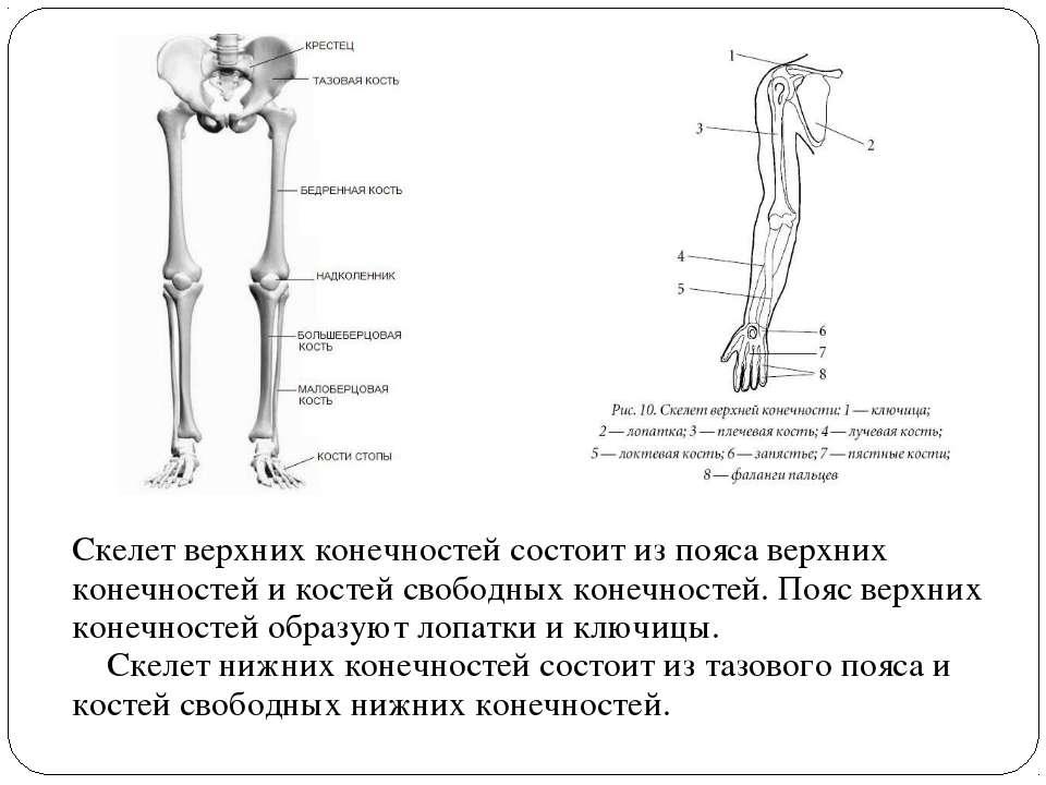 Скелет верхних конечностей состоит из пояса верхних конечностей и костей своб...