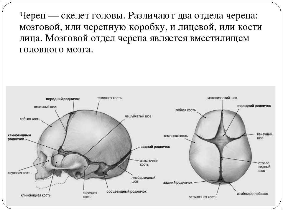 Череп — скелет головы. Различают два отдела черепа: мозговой, или черепную ко...