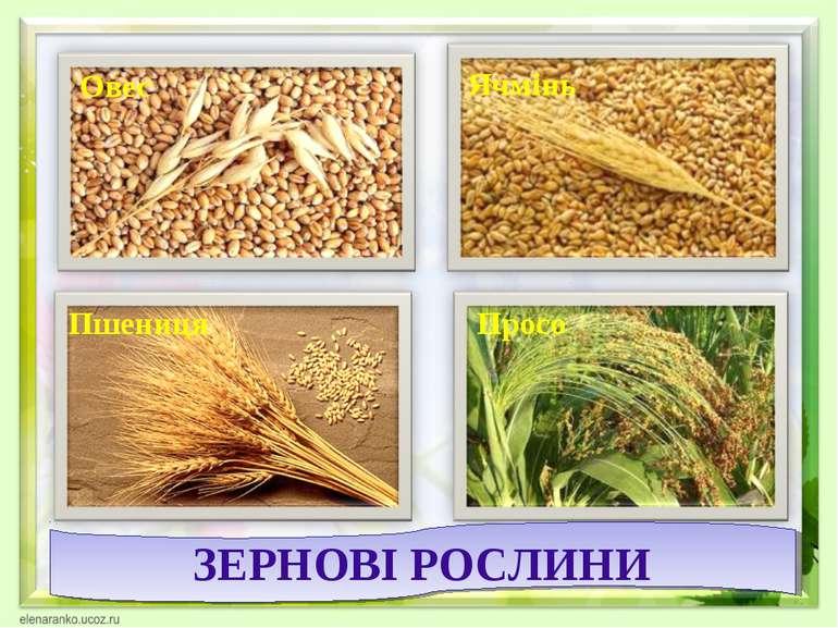 Овес Ячмінь Пшениця ЗЕРНОВІ РОСЛИНИ Просо