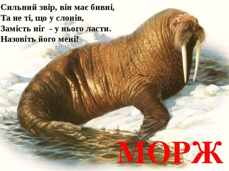 Сильний звір, він має бивні, Та не ті, що у слонів, Замість ніг - у нього лас...