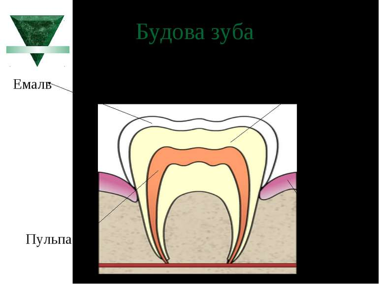 Будова зуба Дентин Емаль Пульпа Ясна