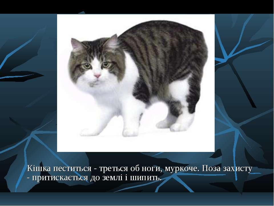 Кішка пеститься - треться об ноги, муркоче. Поза захисту - притискається до з...