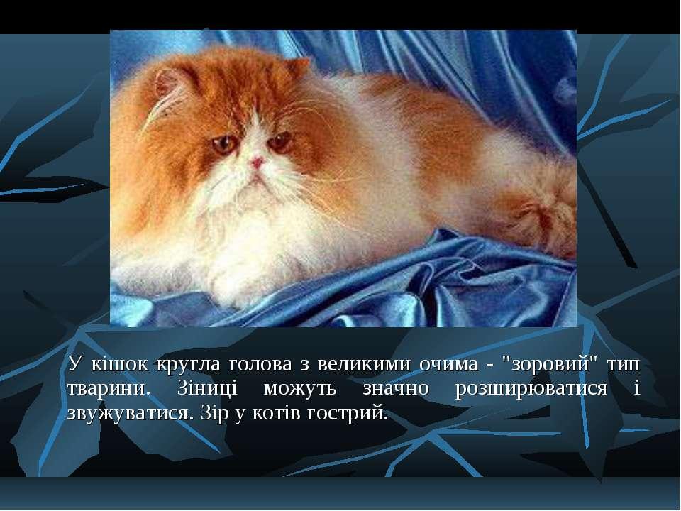 """У кішок кругла голова з великими очима - """"зоровий"""" тип тварини. Зіниці можуть..."""