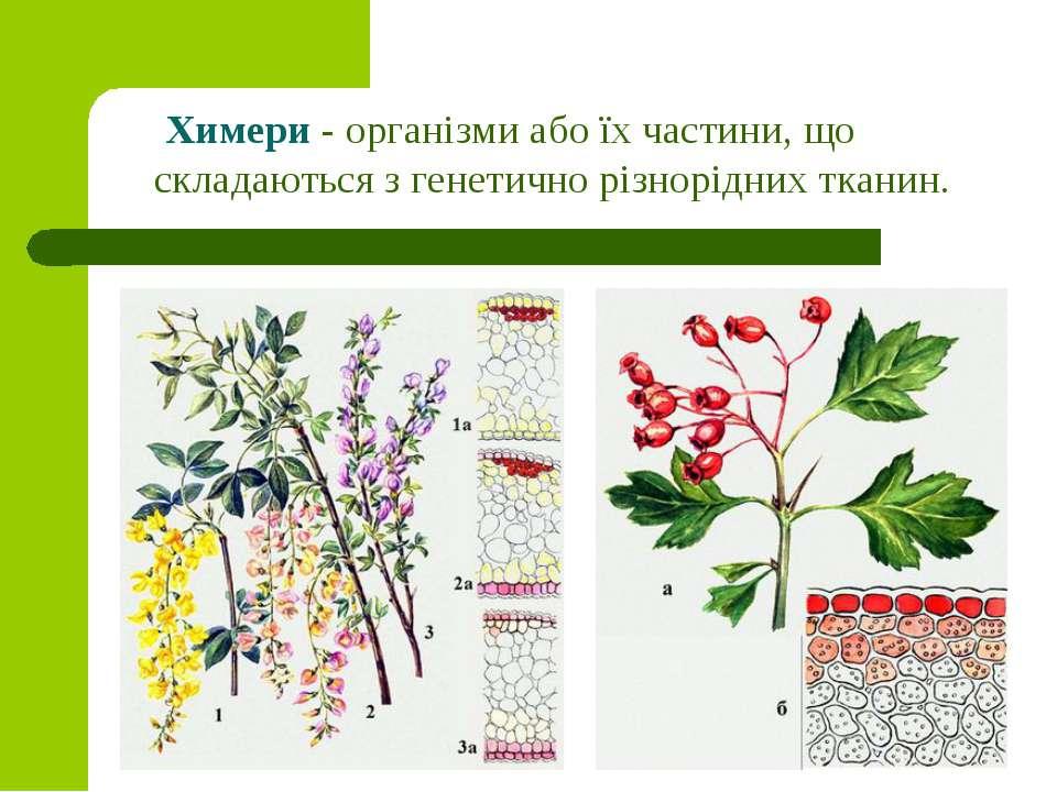 Химери - організми або їх частини, що складаються з генетично різнорідних тка...
