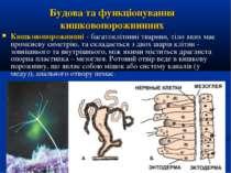 Кишковопорожнинні - багатоклітинні тварини, тіло яких має променеву симетрію,...