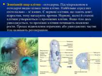 Зовнішній шар клітин - ектодерма. Під мікроскопом в ектодермі видно кілька ти...