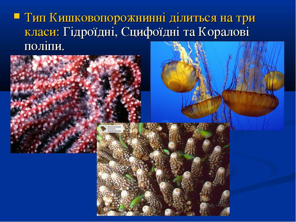 Тип Кишковопорожнинні ділиться на три класи: Гідроїдні, Сцифоїдні та Коралові...