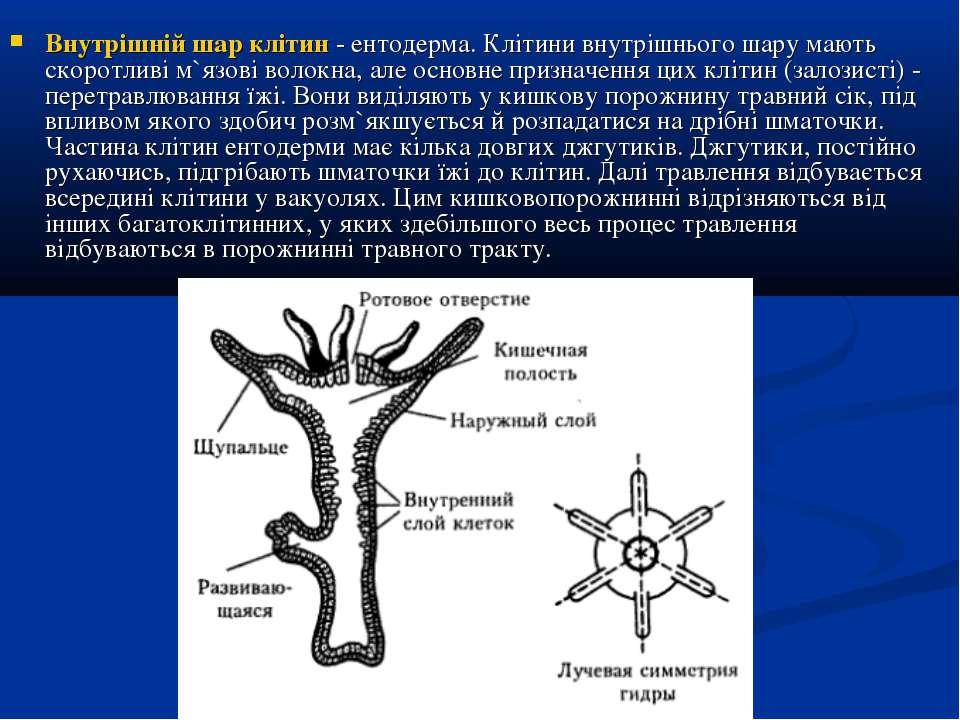 Внутрішній шар клітин - ентодерма. Клітини внутрішнього шару мають скоротливі...