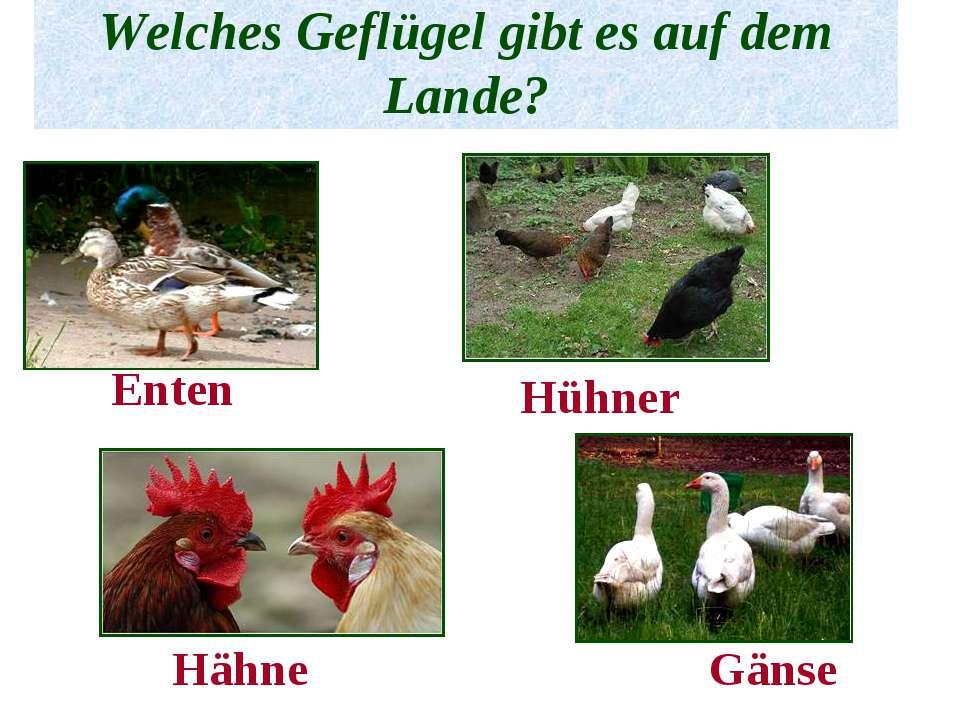 Welches Geflügel gibt es auf dem Lande? Enten Hühner Hähne Gänse