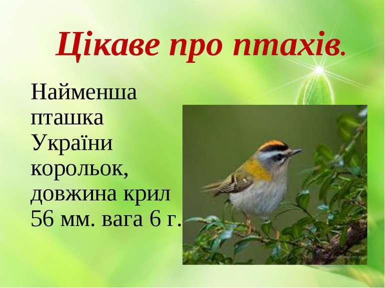 Цікаве про птахів. Найменша пташка України корольок, довжина крил 56 мм. вага...