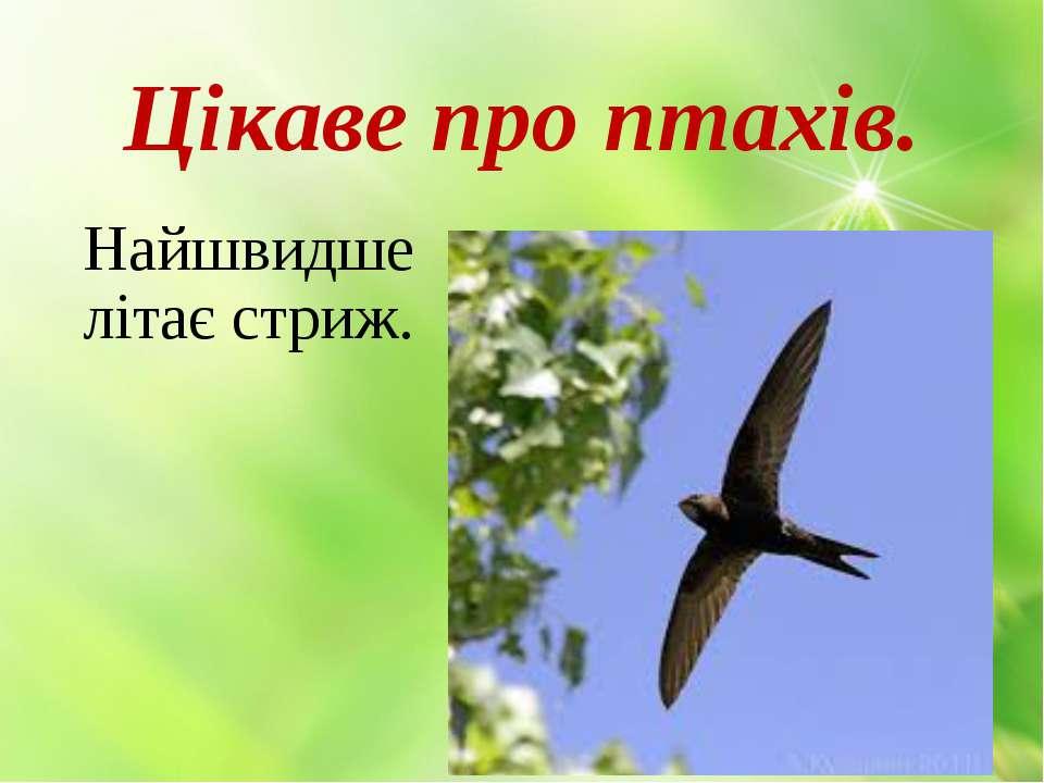Цікаве про птахів. Найшвидше літає стриж.