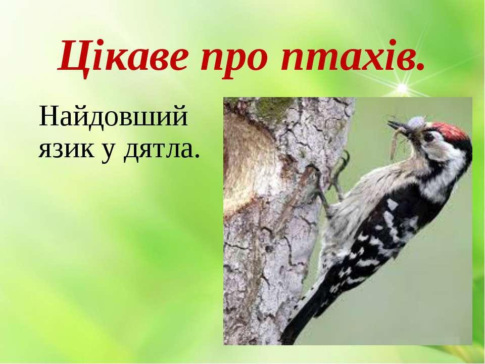 Цікаве про птахів. Найдовший язик у дятла.