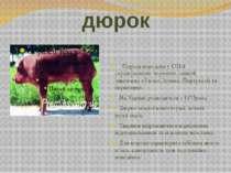 дюрок Порода виведена у США схрещуванням червоних свиней, завезених з Гвінеї,...