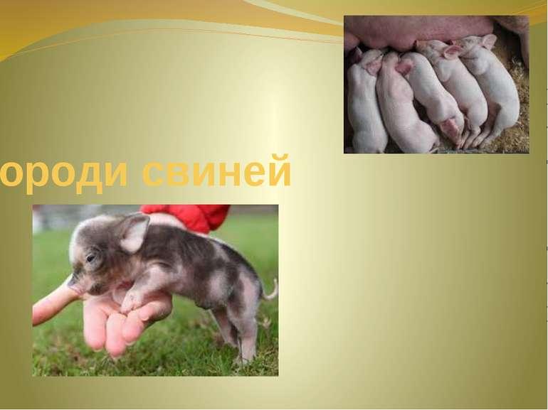 Породи свиней