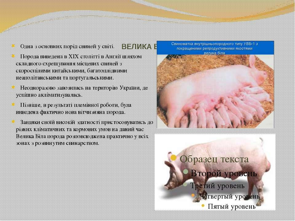 ВЕЛИКА БІЛА Одна з основних порід свиней у світі. Порода виведена в ХІХ столі...