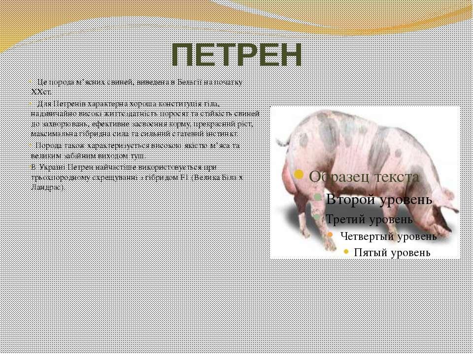 ПЕТРЕН Це порода м'ясних свиней, виведена в Бельгії на початку ХХст. Для Петр...