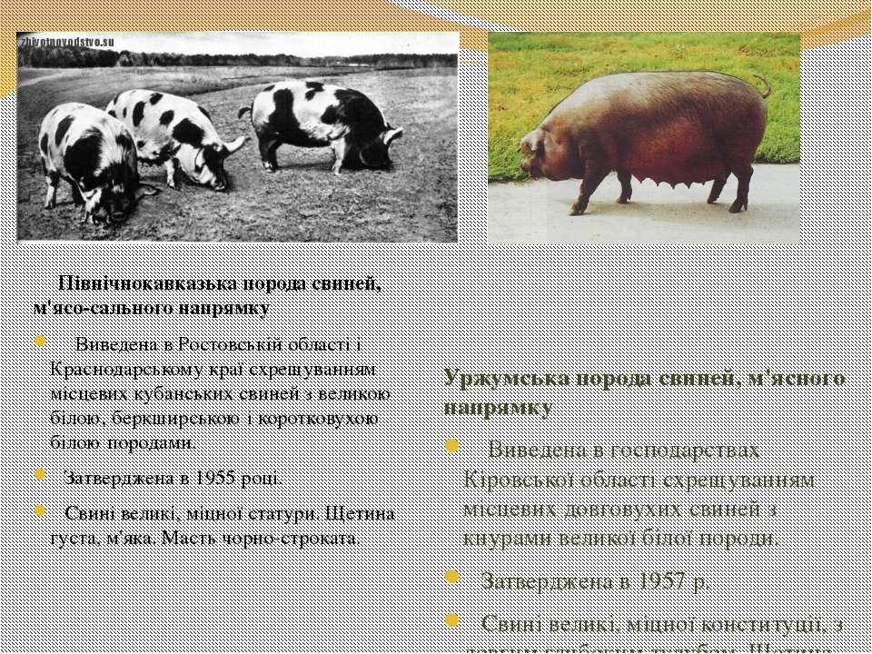 Північнокавказька порода свиней, м'ясо-сального напрямку Виведена в Ростовськ...