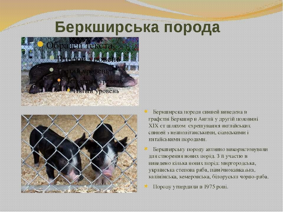 Беркширська порода Беркширска порода свиней виведена в графстві Беркшир в Анг...
