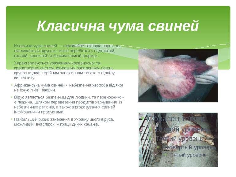 Класична чума свиней Класична чума свиней — інфекційне захворю вання, що викл...