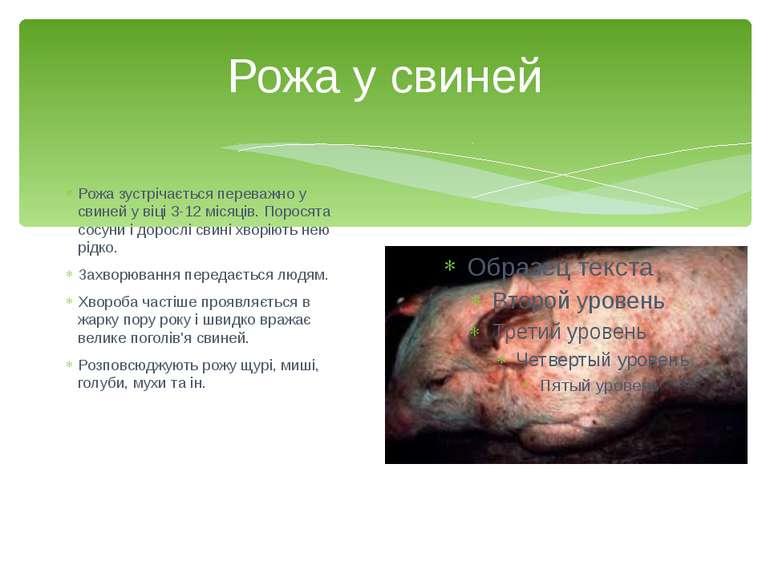 Рожа у свиней Рожа зустрічається переважно у свиней у віці 3-12 місяців. Поро...