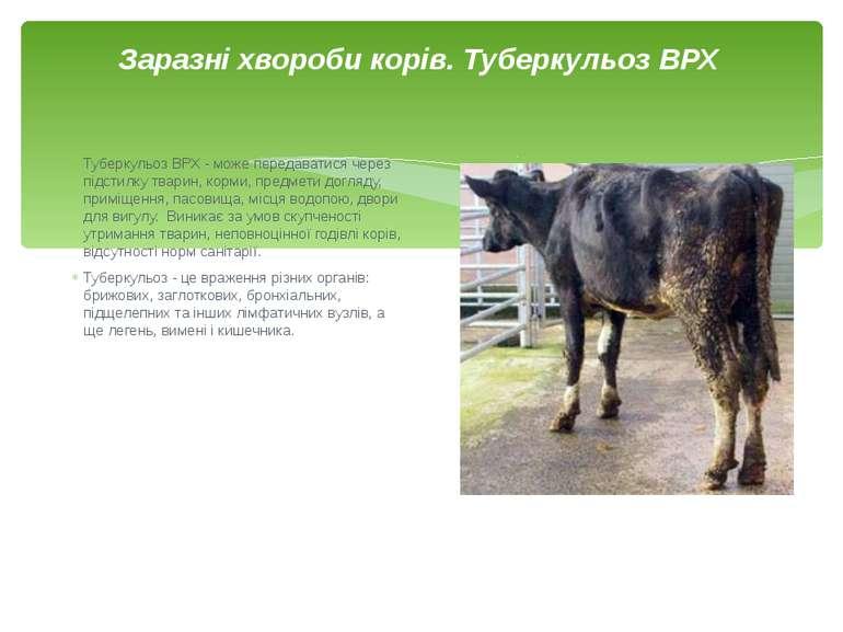 Заразні хвороби корів. Туберкульоз ВРХ Туберкульоз ВРХ - може передаватися че...
