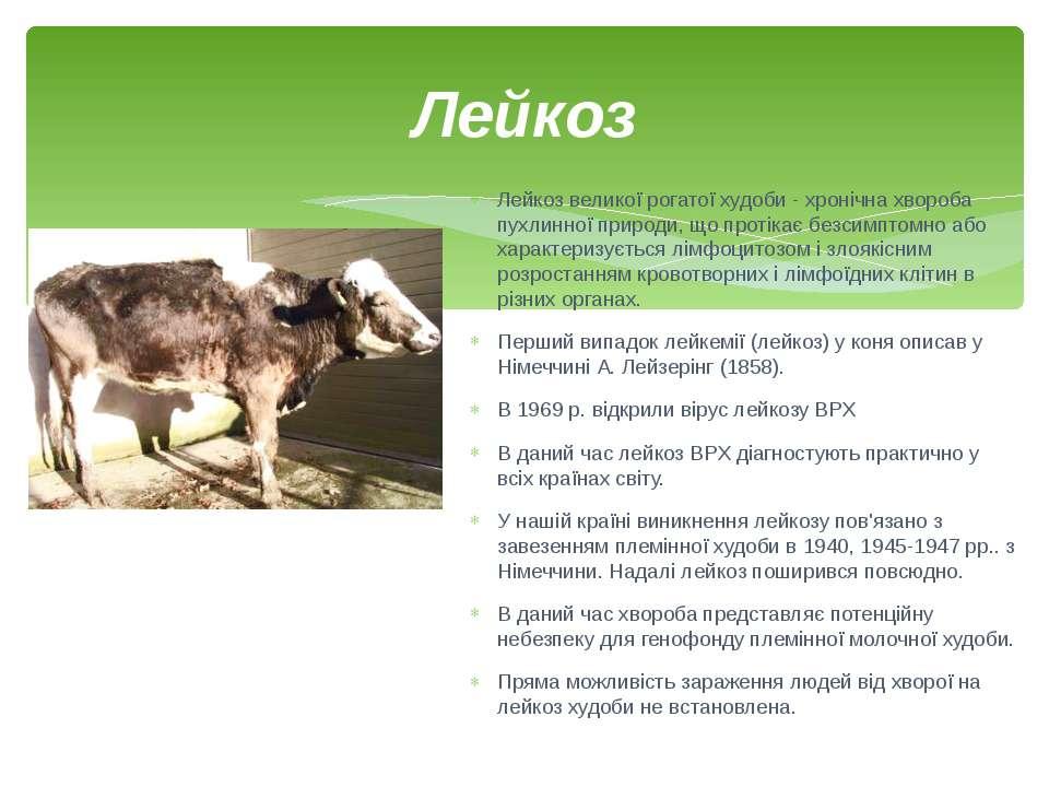 Лейкоз Лейкоз великої рогатої худоби- хронічна хвороба пухлинної природи, що...