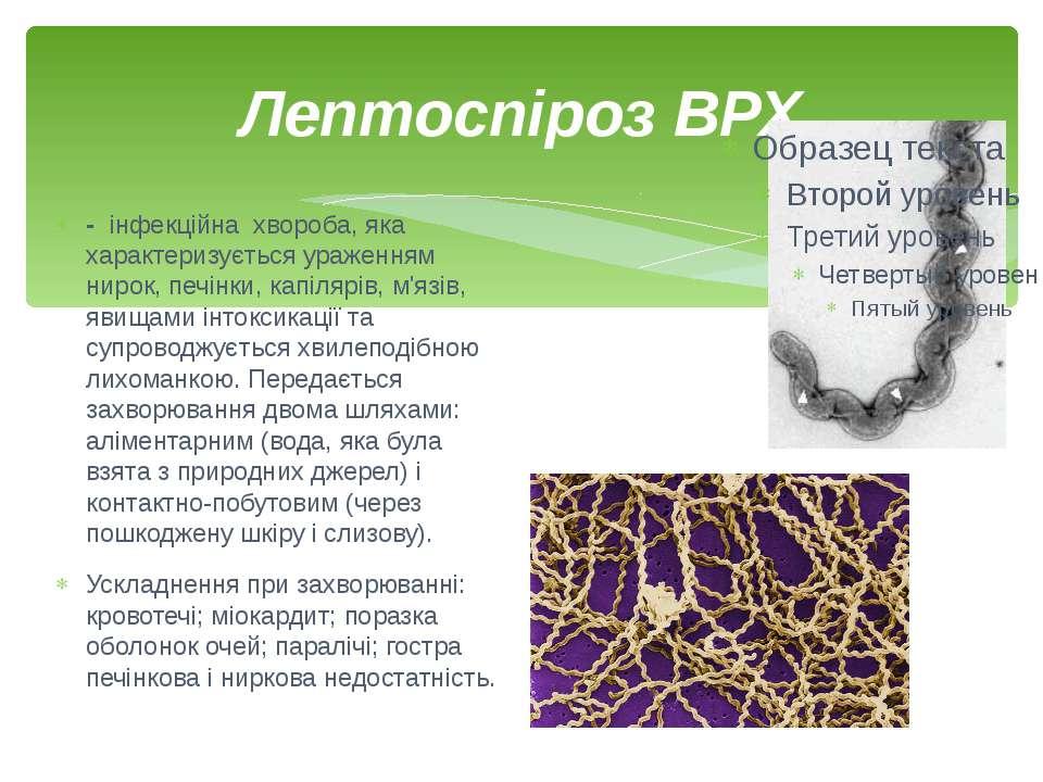 Лептоспіроз ВРХ - інфекційнахвороба, яка характеризується ураженням нирок,...
