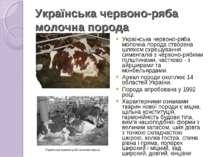 Українська червоно-ряба молочна порода Українська червоно-ряба молочна пород...