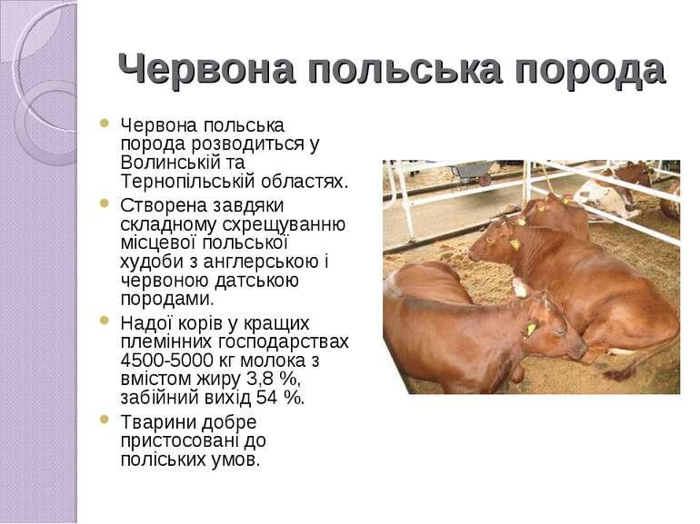 Червона польська порода Червона польська породарозводиться у Волинській та ...