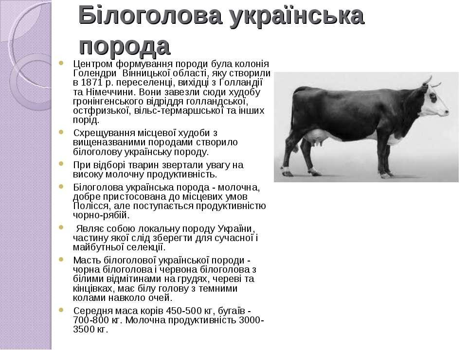 Білоголова українська порода Центром формування породи була колонія Голендри ...