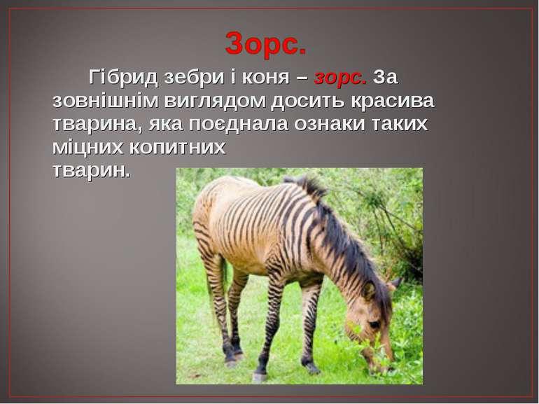 Гібрид зебри і коня – зорс. За зовнішнім виглядом досить красива тварина, яка...
