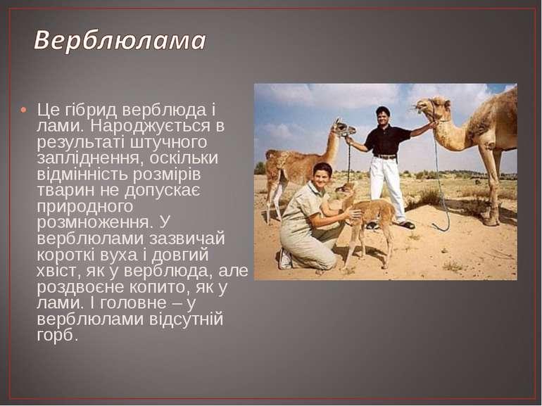 Це гібрид верблюда і лами. Народжується в результаті штучного запліднення, ос...
