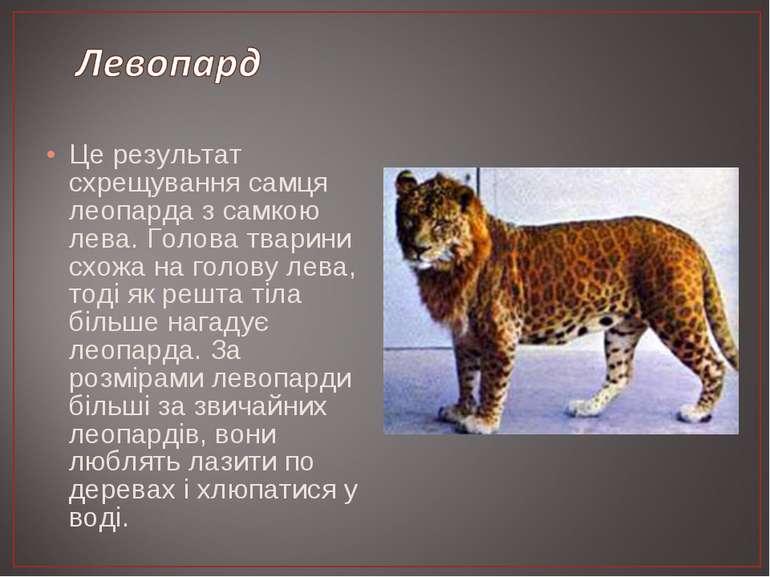 Це результат схрещування самця леопарда з самкою лева. Голова тварини схожа н...