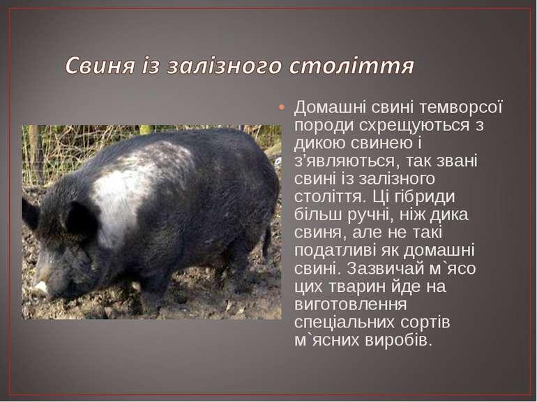 Домашні свині темворсої породи схрещуються з дикою свинею і з'являються, так ...