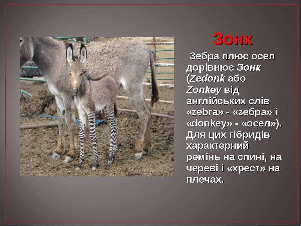Зонк Зебра плюс осел дорівнює Зонк (Zedonk або Zonkey від англійських слів «z...