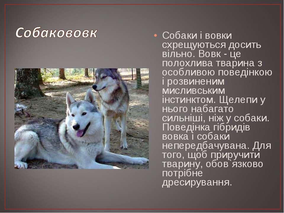 Собаки і вовки схрещуються досить вільно. Вовк - це полохлива тварина з особл...
