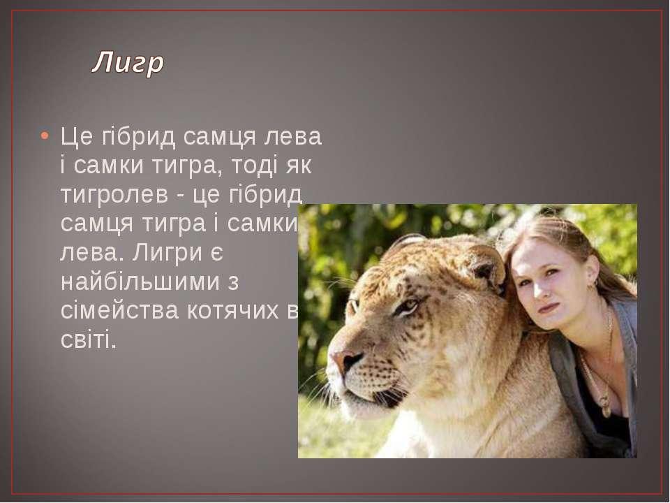 Це гібрид самця лева і самки тигра, тоді як тигролев - це гібрид самця тигра ...