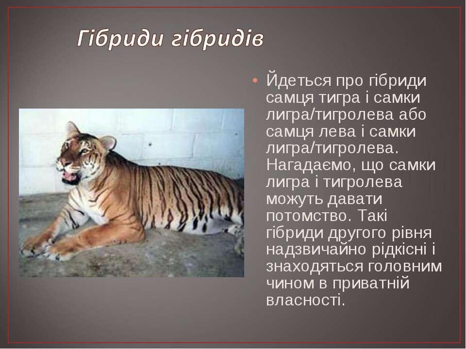 Йдеться про гібриди самця тигра і самки лигра/тигролева або самця лева і самк...