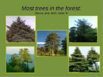 Most trees in the forest: Spruce, pine, larch, cedar, fir