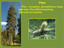 Pine Pine - evergreen, photophilous, large, rich gum tree. Pine different pee...