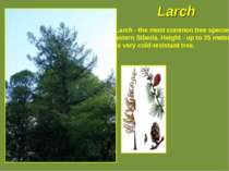 Larch - the most common tree species in eastern Siberia. Height - up to 35 me...