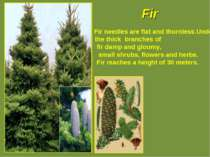 Fir Fir needles are flat and thornless.Under the thick branches of fir damp a...