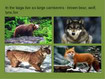 In the taiga live as large carnivores - brown bear, wolf, lynx,fox
