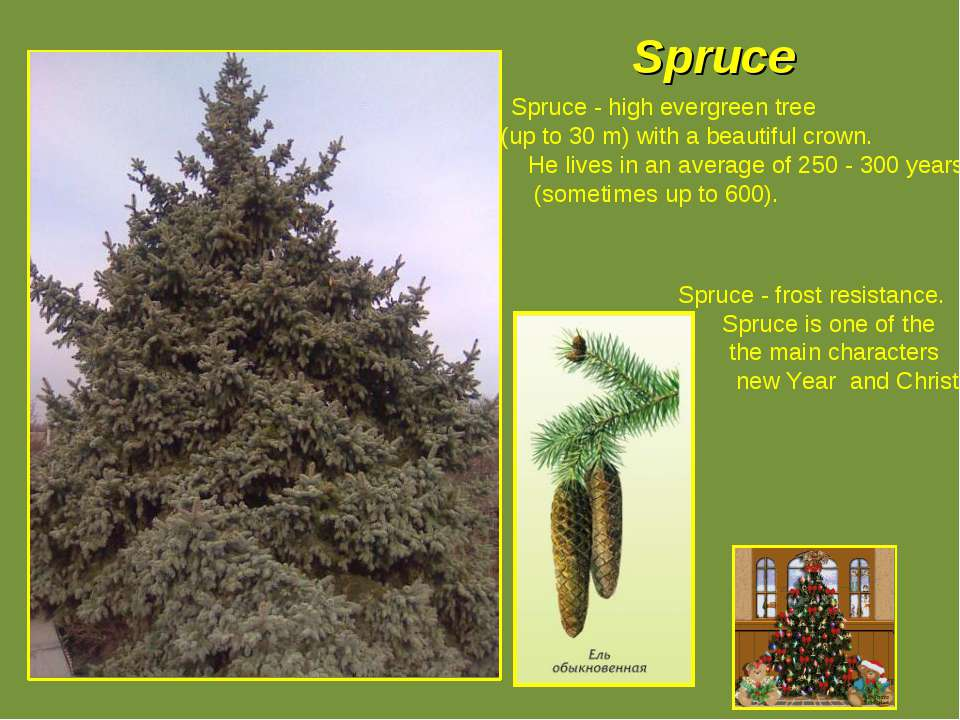 Spruce Spruce - high evergreen tree (up to 30 m) with a beautiful crown. He l...
