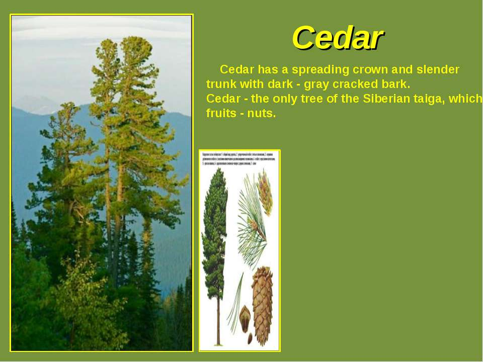 Cedar Cedar has a spreading crown and slender trunk with dark - gray cracked ...