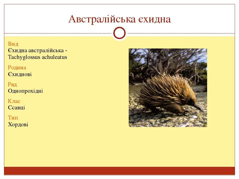 Австралійська єхидна Вид Єхиднаавстралійська- Tachyglossusachuleatus Родина Є...