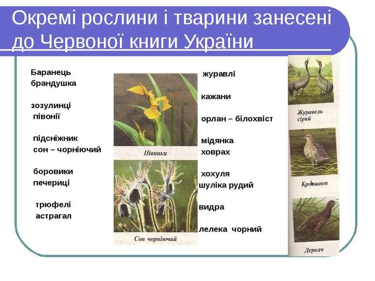 Окремі рослини і тварини занесені до Червоної книги України Баранець брандушк...